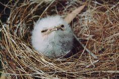 tawny-frogmouth- ガマグチヨタカの幼鳥