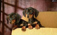 Resultado de imagen de cachorros de perros pequeños
