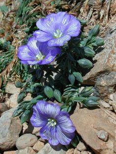 ..Linum_austriacum/ssp.mauritanicum