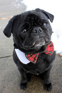 Dapper Pug: Ready for Sunday dinner.