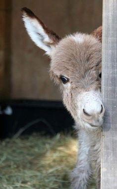 Baby Donkey, Cute Donkey, Mini Donkey, Baby Cows, Donkey Funny, Donkey Donkey, Baby Elephants, Baby Baby, Cute Funny Animals