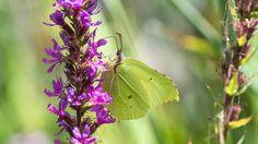 Garten der Schmetterlinge  Für Liebhaber von Schmetterlingen und anderen Insekten gibt es vor den Toren Hamburgs in Friedrichsruh den Garten der Schmetterlinge. Neben dem Gewächshaus mit seinen vielen kleinen und großen Flugakrobaten gibt es aber auch auf dem liebevoll gestalteten Außengelände, das sich wie ein kleiner Park um das Gewächshaus zieht, viel zu entdecken.