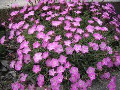 File:Dianthus gratianopolitanus ' la Bourboule' 1.JPG