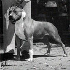 Staffordshire Terrier Club of America National Specialty Winner - CH Herring's Beau Jangles - also won the APBT national in 1983 Staffordshire Bull Terrier, American Staffordshire, Pitbull Terrier, Bull Terriers, Aggressive Dog, American Pit, Vintage Dog, Bullying, Pitbulls