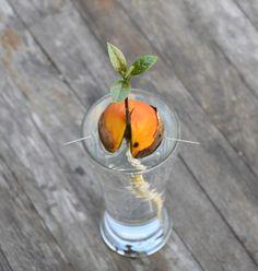Pěstování avokáda z pecky je skvělá zábava. Krásná rostlina vám bude dělat radost a jednou možná sama vytvoří plod. S klíčením si však velké semeno dává na čas - pomoci mu můžete osvědčenými triky.
