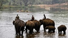 *Corbett Tiger Reserve Of Uttarakhand To Be The New Home For Six Bannerghatta Elephants*  Currently, in the 49.5 hectare #BannergahattaElephantCamp, there are 19 animals. Among them are two temple #elephants, while four-five animals were born in the park and the rest have been rescued from elsewhere. The highest population of elephants in the country of an estimate of 6,000 is in #Karnataka.  #Wildlife