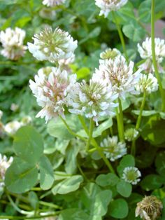 Valkoapila - Trifolium repens