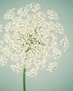 Fine art flower photography print of a queen anne's lace flower by Allison Trentelman.
