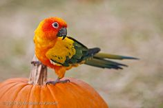 The Great Halloween Parrot. By Michael Pancier.