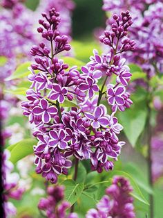 Sensation lilac (Syringa vulgaris 'Sensation') is a fast-growing shrub that bears spikes of single lavender flowers edged in white that shine from a distance. It grows 22 feet tall and wide. Garden Shrubs, Flowering Shrubs, Trees And Shrubs, Garden Plants, Roses Garden, Fruit Garden, House Plants, Lavender Flowers, Summer Flowers