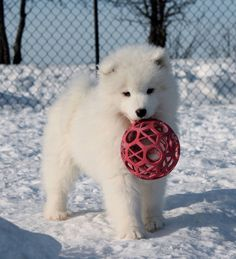 I brought my ball. Baby Dogs, Pet Dogs, Dog Cat, Puppies And Kitties, Cute Puppies, Doggies, Most Beautiful Dogs, Animals Beautiful, Cute Baby Animals
