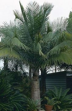Ravenea rivularis - Majesty Palm