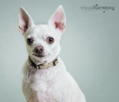 Hattie Chihuahua & French Bulldog Mix • Adult • Female • Small  AZ Happy Tails Animal Rescue Chandler, AZ  Meet our little Elvis impersonator, Hattie! She  was rescued from the pound where she was scheduled to be euthanized. She is very loyal and loving towards her foster parents and would love to find a forever home of her own.She gets along well with...