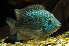 Green Texas Cichlid, I have one of these and we moved the tank away from the sunlight - it turned silver.. moved the tank back - back to green!