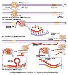 Transcription and Steps Cell Biology, Molecular Biology, Teaching Biology, Medical Science, Medical School, Transcription, Anatomy And Physiology, Biochemistry, Dna