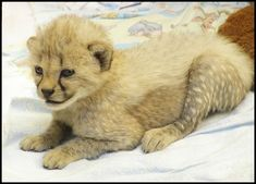 Big Cats, Cats And Kittens, African Cats, Cheetahs, Leopards, Lions, Cute Animals, Wildlife, Fox