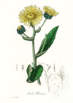 Free Public Domain | www.rawpixel.com | Elecampane (Inula helenium) illustration from Medical Botany (1836) by John Stephenson and James Morss Churchill. Antique Illustration, Botanical Illustration, Botanical Flowers, Botanical Prints, John Stephenson, Forest Plants, Garden Of Earthly Delights, Plant Drawing, Nature Journal