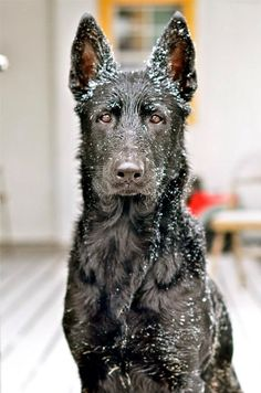 Black German shepherd Spaniel Terrier Dog Photography Puppy Hounds Chien Puppies…