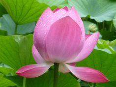Lotus in Yakushi-ike park in Machida, Tokyo. Aug.8th.