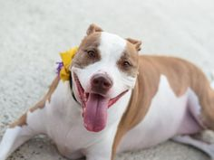 NILA - A1081737 - Brooklyn - Publicly Adoptable TO BE DESTROYED 08/05/16**AVERAGE RATED AND LIVED WITH A KITTY!!**SET UP TO FAIL! Poor Nila finds herself at the ACC for the second time in only 3 weeks. The first time she was surrendered because her owner was moving. In that home she lived with adults, children and a cat with no issues. She also got along with other dogs in the neighborhood when properly introduced. Nila was adopted and quickly returned on 7/30 because, apparently she did…