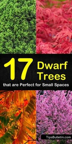 Front Yard Landscaping Discover 17 Dwarf Trees that are Perfect for Small Spaces Try any of these dwarf trees to brighten up small gardens and balconies including flowering trees like evergreen spruces and delicious dwarf apple trees. Dwarf Flowering Trees, Dwarf Evergreen Trees, Dwarf Fruit Trees, Trees And Shrubs, Trees To Plant, Trees In Pots, Potted Trees Patio, Dwarf Cherry Tree, Evergreen Flowers