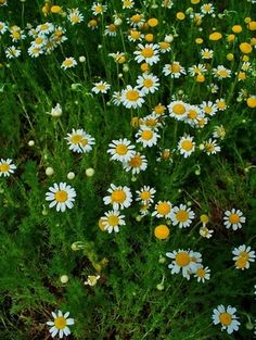 growing camomile in the garden