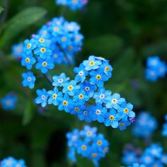 Forget -me-not - beautiful blue color