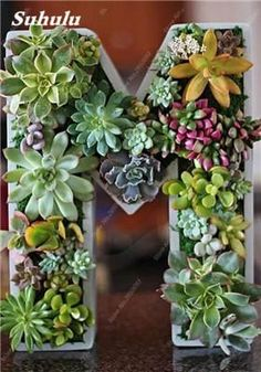 Exotic Succulent Plant Seed Natural Growth Lithops Stone Flower Seed Office Desk Absorb Formaldehyde 120 Pcs / bag