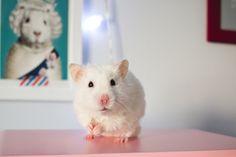 Foto de Melina Souza. Bilbo, hamster branquinho em cima de uma superfície cor-de-rosa olhando para a câmera.