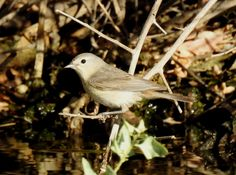 Lucy's Warbler (1)