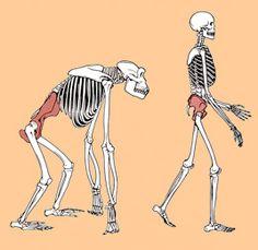 Bipedismo: proceso por el cual, los homínidos pasan de usar las 4 patas para caminar a solo 2. Gracias a ello se producen una serie de cambios (aumento cerebral, liberación de las manos) que provocan la evolución.