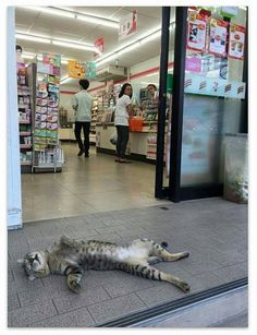 Travelling Cats on Friday Feeling – Cat sleeping on its back in front of a shop in Thailand. More cat pictures from travels at www. I Love Cats, Crazy Cats, Cool Cats, Funny Cats, Funny Animals, Cute Animals, Fun Funny, Image Chat, Cute Cat Gif