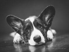 Artistic Portrait Photography, Pet Portraits, Newborn Photography, Studios, Corgi, Pets, Sweet, Animals, Candy