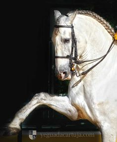Pure Spanish Blood Carthusian. Today, the Carthusian Stud belongs to the Spanish State