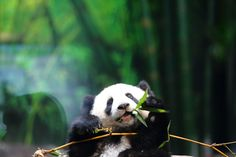18 Amazingly Cute Pictures Of A Baby Panda Having Just About The Best Time Ever (IMAGES)