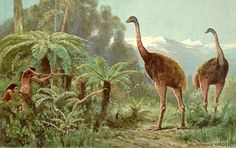 When people first arrived in New Zealand, they encountered giant wingless birds known as Moa's (the family Dinornithidae). These birds were distinct from their relatives (tinamous, cassowaries, emu, ostriches) possessed wings, whereas moa had lost the bones completely. The largest moa species could reach up to 4m in size, larger than any other bird on the islands. Due to what many believe to be overhunting by early Maori, moas became extinct sometime between the late 1300s and early 1500s...