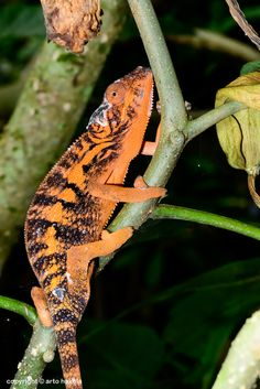 The colorful Panther Chameleon. Their color and patterning depends on where they originate from on the island of Madagascar. Males are more colorful than females.