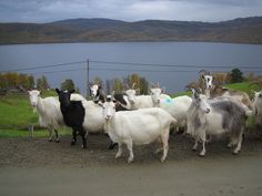*THE GREEN GARDEN GATE*: GOATS & SUMMER MOUNTAIN FARM'S IN THE NORWEGIAN CULTURAL LANDSCAPE