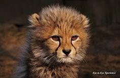 Cheeta-populatie in Malawi groeit langzaam maar zeker Baby Cheetahs, Gato Grande, Jungle Cat, Great Photographers, Big Cats, Animal Photography, Animal Kingdom, Lion, Cute Animals