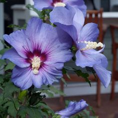 The first ever seedless Rose of Sharon, this beautiful Hibiscus sets big blue blooms with crimson eyes on a narrow plant up to 12 feet tall. Hibiscus Shrub, Hibiscus Tree, Hibiscus Garden, Hibiscus Rosa Sinensis, Blue Hibiscus, Hibiscus Plant, Hibiscus Flowers, Royal Blue Flowers, Purple Flowers