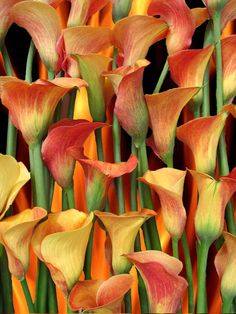 ~~Mango Calla Lilies~~Solomon in all his glory was not arrayed like one of these. . . if God so clothes the grass of the field, which today is, and tomorrow is thrown into the oven, will He not much more clothe you . . . ?
