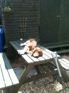 A Basset will sleep anywhere it wants. Basset Hound Dog, Bassett Hound, Shy Girls, Puppy Love, Bliss, Cute Animals, Sleep, Puppies, Night