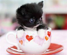 Cachorrinho dentro de uma Xícara