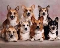 Come on...Corgis. What was God thinking? Funniest looking dog ever.