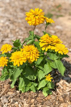 Zinnias - some of the easiest flowers to grow. Grow them from seeds or buy the plants and have amazing color all summer Trailing Flowers, Faux Flowers, Amazing Gardens, Beautiful Gardens, Easiest Flowers To Grow, Plants For Hanging Baskets, Replant, Flowers Perennials, Terrace Garden