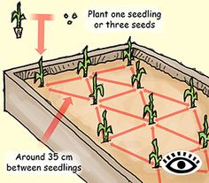 Illustration of planting corn in a raised bed.