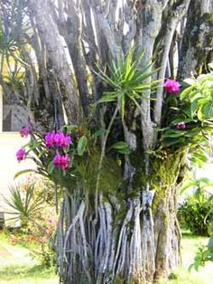 Orchid Lessons for beginners Some great tips here. (orchids-on-tree01.jpg)