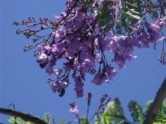 Growing Jacaranda Trees: How To Plant And Care For A Jacaranda Tree