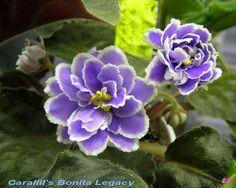 Carallil's Bonita Legacy (Laufer)