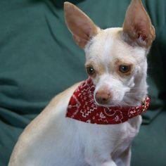 Holly, Chihuahua/Italian Greyhound ... JhC